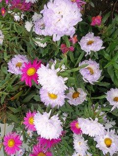 FOTKA - kvetou astry ....