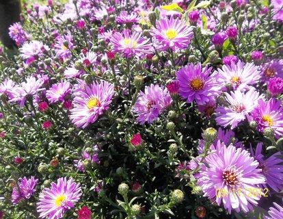 FOTKA - astřičky kvetou. .