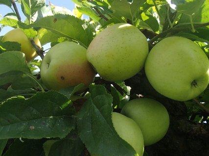 FOTKA - jablk� dozrievaj�