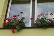 muškáty konečně kvetou