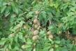 meruňky po kroupách