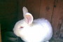 králík bílej..