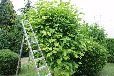 FOTKA - magnolie před úpravou