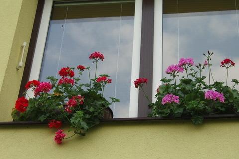 FOTKA - muškáty konečně kvetou