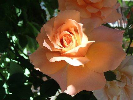 FOTKA - 04.10.2013 dopad slnečných lúčov na ružu