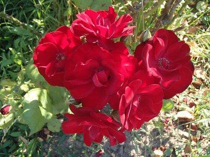 FOTKA - 04.10.2013 trs červených ružičiek