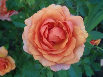 FOTKA - 04.10.2013 aj oranžová ruža ešte kvitne