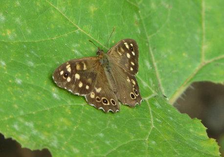 FOTKA - hnedy motylek