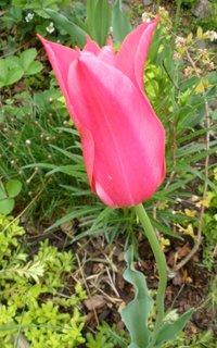 FOTKA - Růžový tulipán