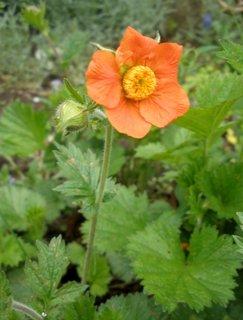 FOTKA - Květ kuklíku