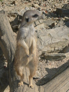 FOTKA - zvědavá surikata