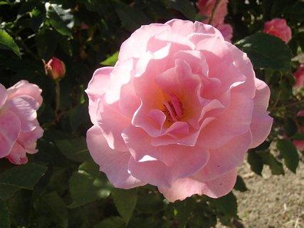 FOTKA - 12.10.2013 ružová ruža