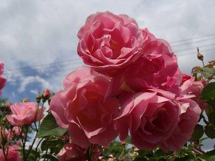 FOTKA - 12.10.2013 ruže v oblakoch