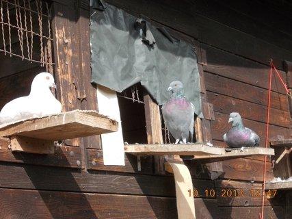 FOTKA - 12.10. - 10.10. - 6 - ti tmaví se přidali k našim holubům