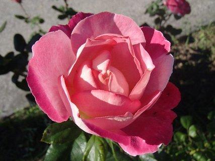 FOTKA - 17.10.2013 ruža v záhrade