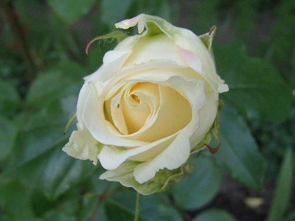 FOTKA - 17.10.2013 smotanová ruža
