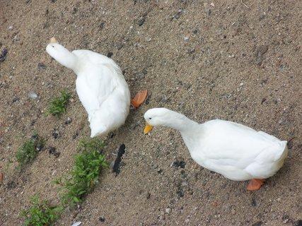 FOTKA - Bílé kačky