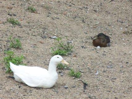 FOTKA - Bílá kačka 1
