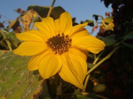 FOTKA - malý kvietok slnečnice