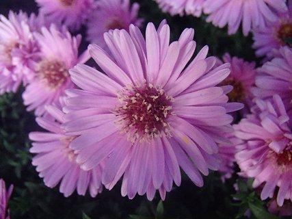FOTKA - ružové kvety
