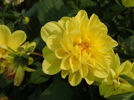 FOTKA - žltá georgína