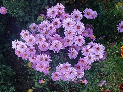 FOTKA - drobné chryzantémy