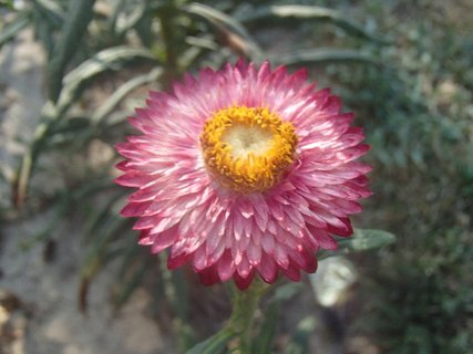 FOTKA - ružová slamienka