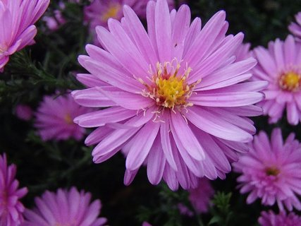 FOTKA - ružovo fialový kvet