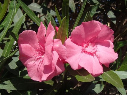 FOTKA - oleander má ešte pár kvetov