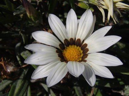 FOTKA - biela gazánia