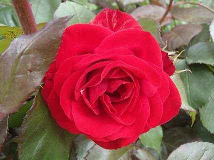 FOTKA - červená ruža