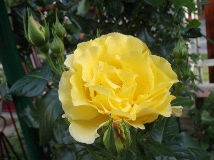 FOTKA - žltá ruža pri plote