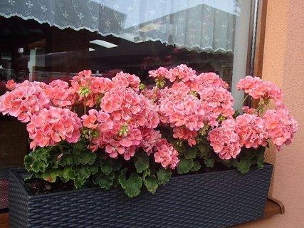 FOTKA - muškáty na okne