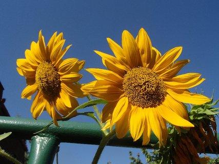 FOTKA - posledné slnečnice