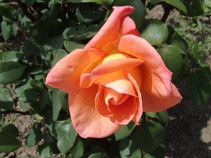 FOTKA - oranžovo žltá ružička