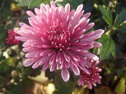 FOTKA - ružovkastá chryzantéma