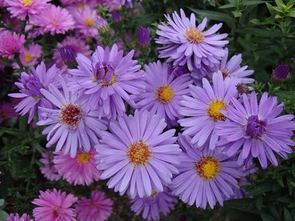 FOTKA - fialové s ružovými