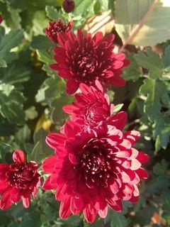 FOTKA - bordové chryzantémy