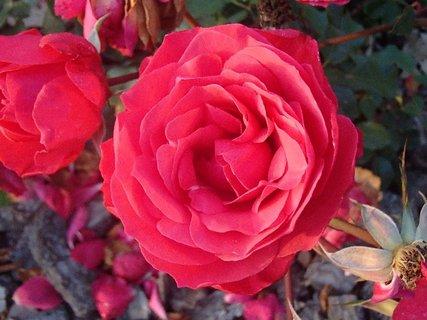 FOTKA - aj ruže ešte kvitnú