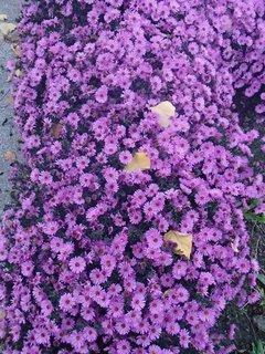 FOTKA - fialový záhon
