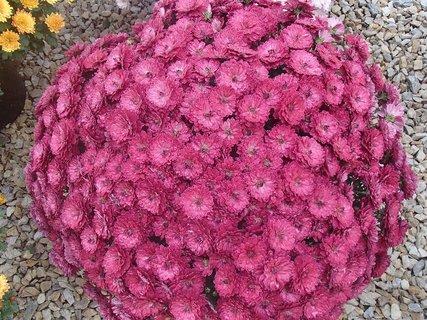 FOTKA - bordovoružové chryzantémy