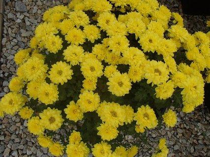 FOTKA - žlté chryzantémy
