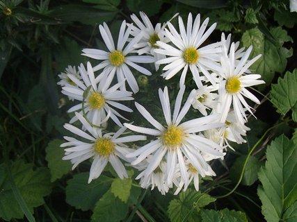 FOTKA - kvitne do guľky