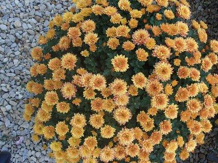FOTKA - oranžové chryzantémy