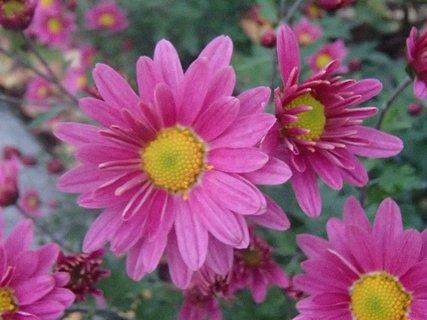 FOTKA - 01.11.2013 kvitnú na záhradke