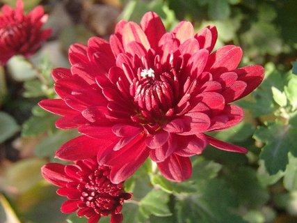FOTKA - bordové kvety na slniečku