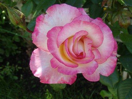 FOTKA - melírovaná ruža ešte kvitne
