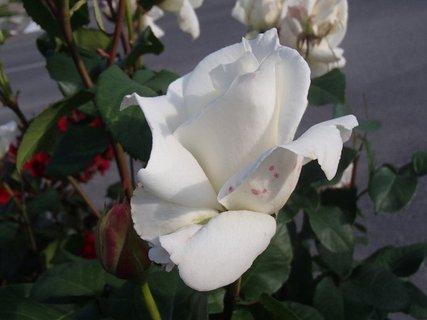 FOTKA - na lupeni má ružové bodky