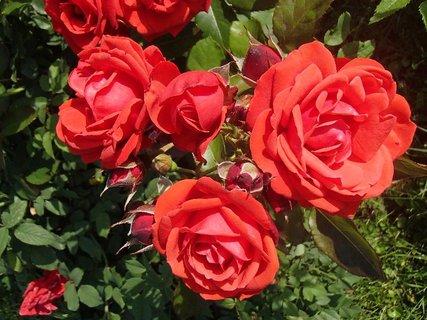 FOTKA - červené ruže fotené v piatok