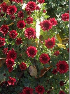 FOTKA - bordovočervené chryzantémy